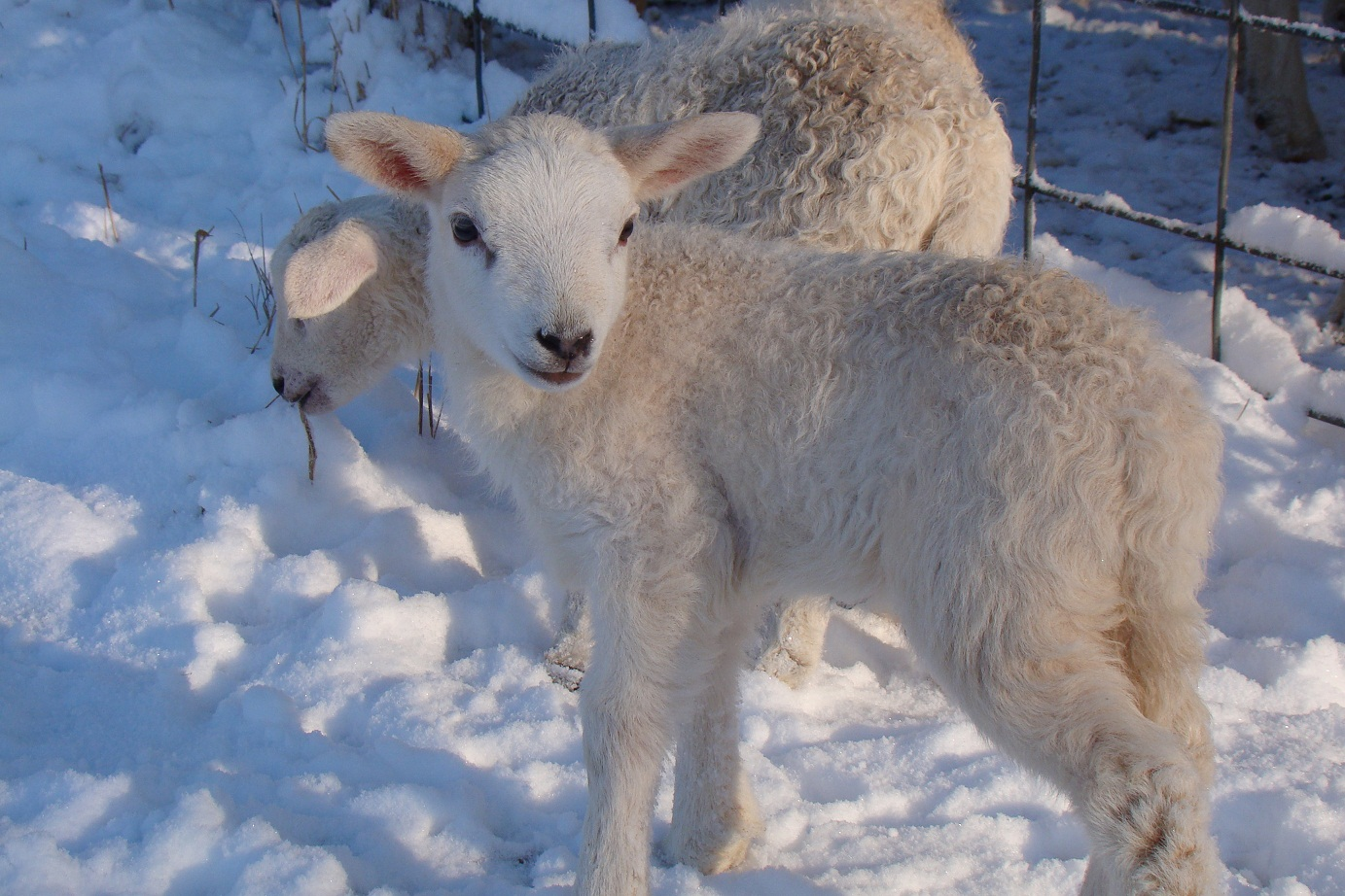 https://missingwillowfarm.files.wordpress.com/2012/02/snow-lamb.jpg