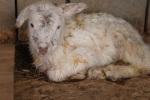 Lamb1