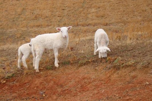 Lambies