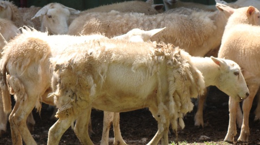 Shear2