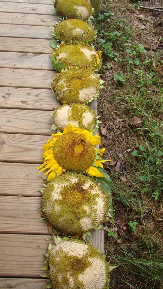 Sunflowers1