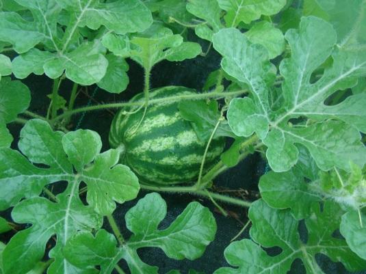 Melon1
