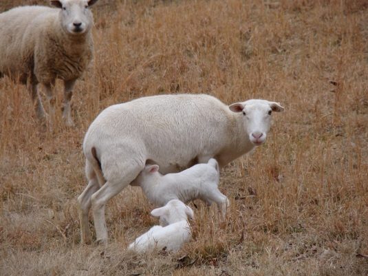 first-lambs